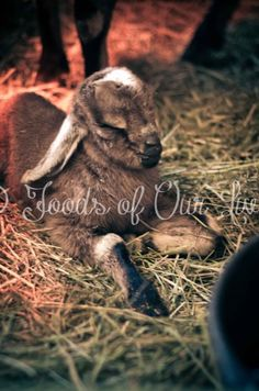 Baby Nubian Goats!-->Best goats in the world!!