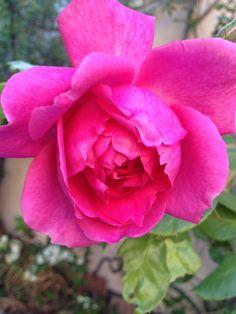 rose rôse
