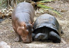 """A baby hippo named Owen walks along with its """"mother,"""" a giant male Aldabran tortoise, at the Mombasa Haller Park in Mombasa, Kenya .The odd couple have stayed together now for one year after they got together after Kenya Wildlife Service.  Rangers rescued the baby hippo in the sea off Malindi after the Asian tsumani reached the Kenyan shore and separated the calf from its mother. <3"""