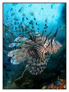 Dancing Lionfish - Sharm El-Sheikh