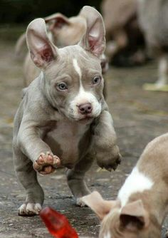 Uplifting So You Want A American Pit Bull Terrier Ideas. Fabulous So You Want A American Pit Bull Terrier Ideas. Cute Puppies, Cute Dogs, Dogs And Puppies, Doggies, Chihuahua Dogs, Beautiful Dogs, Animals Beautiful, Perros Pit Bull, Baby Animals