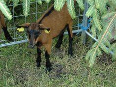 Chovateľský deň v skanzene Vychylovka. Hnedá krátkosrstá koza. Goats, Animals, Animales, Animaux, Animal, Animais, Goat