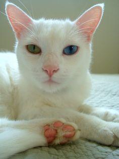Maya, the odd eyed white cat.