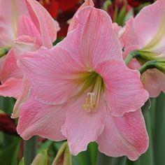 Die Amaryllis 'Sweet Star' blüht so rosa wie frische Zuckerwatte. Die Zwiebeln kommen ab November in die Pflanzgefäße und blühen dann als Zimmerpflanze mitten im Winter - online erhältlich bei www.fluwel.de