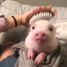Got my hair done today & I'm looking fabulous Best 29 Cute Animals photos you never seen before, is given in the post. Go further to know top best cute animals photo and pictures of Cute Baby Pigs, Cute Piglets, Cute Babies, Baby Teacup Pigs, Teacup Piglets, Baby Piglets, Cute Animal Photos, Cute Animal Videos, Animals Photos