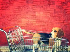 Let's go shopping! #beagle @yummypets