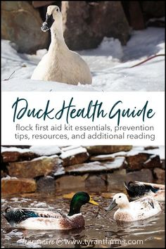 Our duck health guide w/ first aid kit recommendations will help you prevent illness & be prepared in the event one of your flock members becomes sick or injured. Backyard Ducks, Chickens Backyard, Duck Pens, Duck Duck, First Aid Kit Items, Raising Ducks, How To Raise Ducks, Duckling Care, Duck Diapers