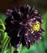 Black Barlow Aquillegia