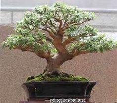 guava bonsai tree