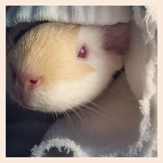 This is my cute little piggy Sadie (:  Submitted by anabsentmindedsoul