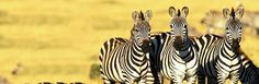 80 Zebra Desktop Wallpapers Wallpapers available. Share Zebra Desktop Wallpapers with your friends. Submit more Zebra Desktop Wallpapers Zebra Wallpaper, Tier Wallpaper, Animal Wallpaper, Photo Wallpaper, Knysna, Zebra Pictures, Animal Pictures, African Animals, African Safari