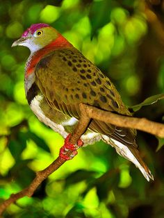 The Superb Fruit Dove (Ptilinopus superbus), also known as the Purple-crowned Fruit Dove. Native to Australasia, the Superb Fruit Dove lives in the rainforests of New Guinea, Australia, Solomon Islands, the Philippines and Sulawesi of Indonesia.