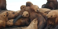 Eastern Steller sea lions - The eastern Steller sea lion, which roams the West Coast between Alaska and California, has been taken off the U.S. Endangered Species List after a major population comeback over the last several years