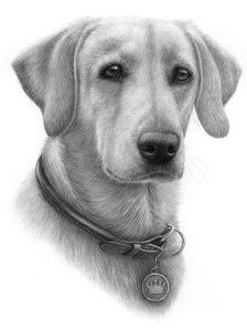 recent graphite pencil drawing commission of a yellow lab named scout