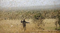Locusts set to hit Kenya, East Africa again, 400 times stronger — Quartz Africa Nairobi, Kenya, Horn Of Africa, Agricultural Science, New Aircraft, Local Tour, African Countries, Red Sea, Tanzania
