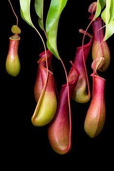 Tropical Pitcher Plant by A. Jaszlics
