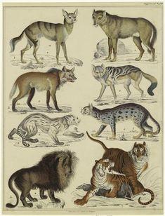 'Wild Cats' from Allgemeine Naturgeschichte für alle Stände. Published by Hoffmann (1833-1841). Author Lorenz Oken (1779-1851). Image and text courtesy NYPL Digital Gallery.