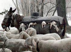 Lamb sheep donkey
