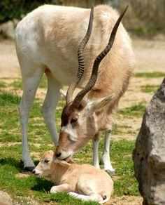 Addax, also known as screwhorn antelope, are critically endangered in their native home of the Sahara Desert. Luckily for the rare addax, they adapt well to captivity and breed fairly easily. Luckily for us, they are adorable!    Baby Fola and Saffiya were born in April of 2008 at the Louisville Zoo.