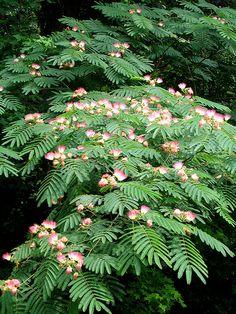 Persian Silk Tree - Mimosa Albizia julibrissin