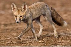 wildlife in Rann of Kutch