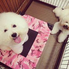2016/11/28 11:46:47 unclebuckpetgrooming 早安!!!!!!!! #歡迎預約洗澡美容0228383232 #加入Line預約洗澡美容集點拿好禮 #LINE_ID : @pnb0292x  @unclebuckpetgrooming #unclebuckpetgrooming #puppies #shop #puppy  #dogs #cats #grooming #gift #life #instagood #instalife #instapets #like4like #巴克叔叔 #犬 #貓 #美容 #寵物 #寵物美容 #寵物零食 #寵物用品  #meow #woof #比熊犬 #BichonFrise Uncle Buck Pet Grooming 巴克叔叔寵物美容 #美容
