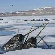 Narwhals unicorns of the sea. These are real. Check it out, click on the picture. Amazing.