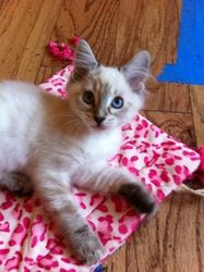 Prada is an adoptable Siamese Cat in Carlsbad, CA. Prada is a beautifully fluffy, long haired Siamese with eyes as blue as robin's eggs. She is the doll of her litter, wanting to be held as much as po...