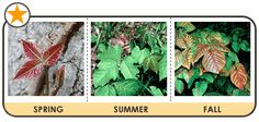 Facts About Poison Plants (Ivy, Sumac, Oak) - Splatsin Poison Oak Leaves, Summer Safety, American Heritage Girls, Poisonous Plants, Time Kids, Helping Children, Green Life, Kids Health, Poison Ivy