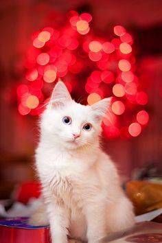 .Christmas cat