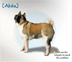 Did you know that some of the first Akitas were brought to the United States by Helen Keller, who was impressed with the breed's loyalty? Read more about Akitas by visiting Petplan pet insurance's Condition Checker.