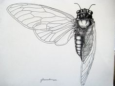 scientific illustration cicada – Google Search