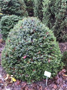 Picea omorica NANA/ ель сербская НАНА Небольшая ель с жесткими побегами с ярко зелёным цветом переходящий в серебристо голубой оттенок с короткими побегами.