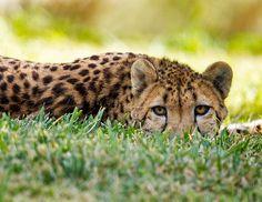 Addison the cheetah keeps a low profile at the Safari Park. http://trevarontours.com/index.php/blog/item/152-sarova-stanley-hotel.html