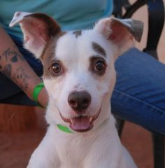 Amalfi is a sporty, bright-eyed young boy wanting to find his place in this chaotic world.  He is a Jack Russell Terrier mix, 3 years of age and neutered, good with other dogs, debuting for adoption today at Nevada SPCA (www.nevadaspca.org).  Amalfi was at another shelter that asked for our help.  He was reportedly surrendered there for chewing shoes and play-biting.  Amalfi needs kind guidance and he will gladly learn more manners and adjust to fit into a forever family.