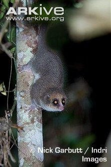 Hairy-eared dwarf lemur    The incredibly elusive hairy-eared dwarf lemur, the only species in the genus Allocebus, is one of the most rarely seen lemurs on the island of Madagascar (2) (4). Until 1990, it was known from only a few specimens and thought likely to be extinct