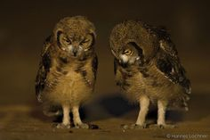Spotted eagle owls deciding on whether to eat a dung beetle!