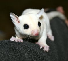 Leucistic sugar glider. Fur is solid white with no stripe or bars at the ears, will have black eyes.  This is a recessive gene and must be paired with another glider with the same recessive gene to reproduce a leucistic.