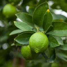 Lime tree a definite must for the orchard.