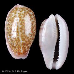 CYPRAEIDAE , Erosaria albuginosa