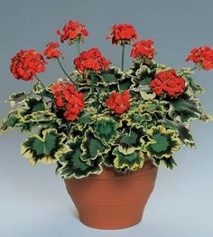 Geranium 'Mrs. Pollack' zonal