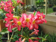 GROW FOOD slow food : Adenium obesum : Desert Rose