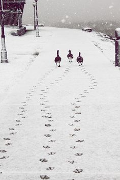 Ducks snow trail.