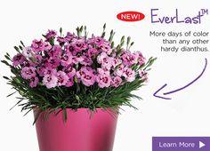 Everlast dianthus - more flowering time