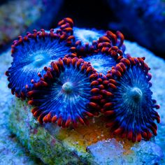 Fire & Ice Zoanthids propagated under natural sunlight at Tidal Gardens.