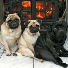 Perfectly puggy