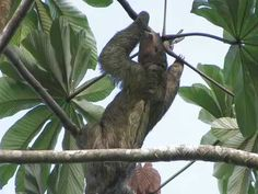 ▶ The Virtual Rainforest - Three-toed Sloth and Two-toed Sloth - YouTube