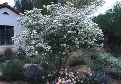 Anacacho Orchid Tree - Low-water use, small, patio tree