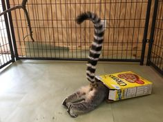Animal enrichment post of the day. Lol This is Indian Creek Zoo's education lemur discovering enrichment in a box! — at The Animal Behavior Center, LLC.