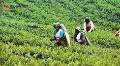 Tea Factory in Nuwara Eliya, Sri Lanka.
